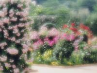 6月になってもきれいな薔薇1 - 光の音色を聞きながら Ⅳ