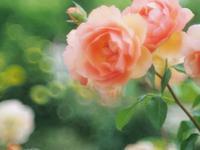 6月になってもきれいな薔薇2 - 光の音色を聞きながら Ⅳ