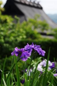 花菖蒲 - ♪一枚のphotograph♪