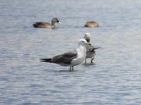 ウミネコ、カワウ他@葛西臨海公園 - 青爺の野鳥日記