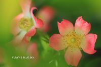 薔薇*2019・STORY1415年目の*** - FUNKY'S BLUE SKY