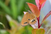 加古川ヒメヒカゲ - 蝶と自然の物語