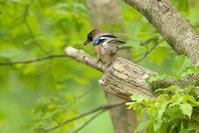 初夏の高原でカケスと出会いました。 - 近隣の野鳥を探して