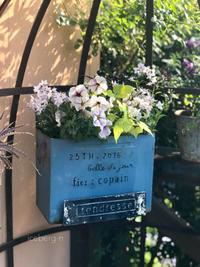 寄せ植えのノブドウオーレアがお気に入り - 小さな庭 2