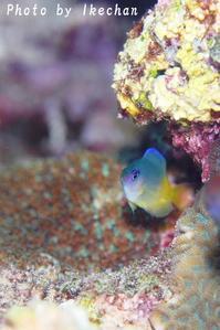 プリチー&ビューリポー~ルリメイシガキスズメダイ幼魚~ - 池ちゃんのマリンフォト