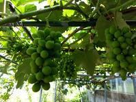 スイカとメロンとブドウの作業 - Rose&Farm