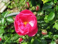 バラが咲き始めた♪ - Photo Album
