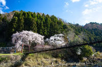 桜2019!~魚が淵のつり橋~ - 京都憧憬!