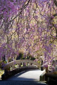 川上村の桜たち③ - katsuのヘタッピ風景