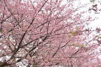 三浦海岸の河津桜2019 - 僕の足跡