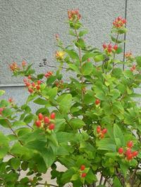 ヒペリカムや、ラムズイヤーが咲いています。 - ミモザアカシアの日々