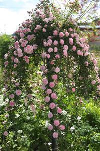 バラ咲き誇る中之条ガーデンズ②シンボルツリーのローズガーデン#2枝垂れ薔薇 - 風の彩り-2