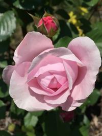 バラの開花 オリビア ローズ オースチン - ヘブンリーブルーの咲く朝に