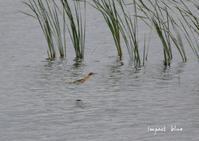 コブハクチョウさんの沼でヨシゴイさん(^^)/ - インパクトブルー