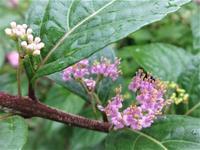 小紫式部とアゲハ - だんご虫の花
