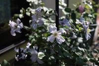 プリンスチャールズとホワイトプリンスチャールズ - my small garden~sugar plum~
