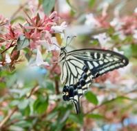 #チョウ 『揚羽蝶』 Papilio xuthus - 自然感察 *nature feeling*