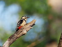アカゲラが元気な戸隠高原 - コーヒー党の野鳥と自然 パート2