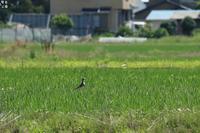 警戒中のケリ - 野鳥公園