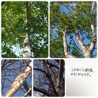 【English】white birch - ほかの国のコトバ ― 8言語つまみぐい