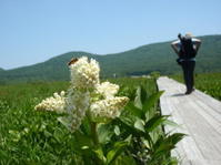 雄国沼、ニッコウキスゲが咲き始めました - 猪苗代からのぽぽんた通信