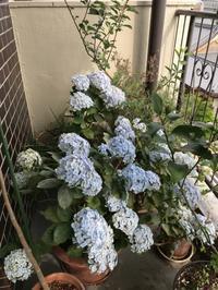 蜂も参加のベランダの植物達 - 青山ぱせり日記