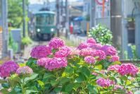 紫陽花と江ノ電 - エーデルワイスPhoto
