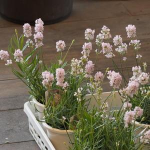 ラベンダー ピンクなどが入荷しました。 - sola og planta ハーバリストの作業小屋