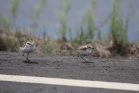 シロチドリ親子の散歩 - 私の鳥撮り散歩