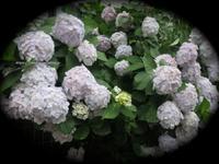 住宅街に咲く紫陽花 - イタリアワインのこころ