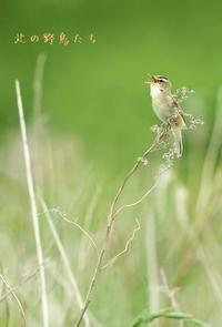 コヨシキリ - 北の野鳥たち