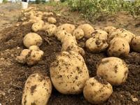 ジャガイモの収穫 - 週末農夫コーディーのイケてる鍬の振るい方