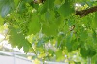 ゴルビーの粒間引き - ~葡萄と田舎時間~ 西田葡萄園のブログ