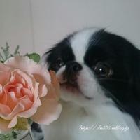 犬の匂い☆お腹の回復食 - 狆の茶々丸