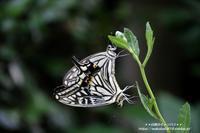 アゲハ蝶の長い長いハグタイム(*^_^*) - 自然のキャンバス