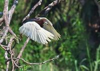 アカガシラサギ - くまさんの鳥撮り