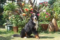 ブラン・ピエール・ドゥ・ロンサールが咲き、カラフルな薔薇の前でロジャーを撮ったよ♪(5月17日) - Reon with LR & Roses