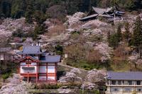 桜咲く奈良2019桜に包まれた長谷寺 - 花景色-K.W.C. PhotoBlog