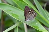ウラナミジャノメ・・・加古川 - 蝶と自然の物語