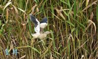 ヨシからヨシのブツシュんの中に、巣はまだ確認できないようだぜ。誠 - 皇 昇
