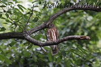アオバズクの季節になりました。 - 鳥撮りDAIRY