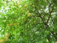 連日梅の収穫をしています。 - 柴まみママの大多喜便り