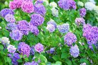 紫陽花 - kogomiの気ままな一コマ