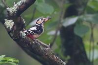 蝉を捕らえたアカゲラ - 上州自然散策2