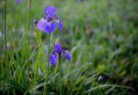 梅雨時に青い花を - 旅のかほり