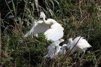 鷺山のコサギ - 比企丘陵の自然