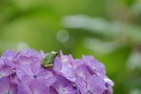 紫陽花カエル - きょうから あしたへ その2