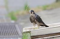 ハヤブサ幼鳥の消息不明 - 気まぐれ野鳥写真