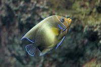 葛西臨海水族園:「伊豆七島の海2」②~サザナミヤッコ - 続々・動物園ありマス。