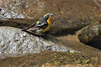 キビタキさん水浴び - 鳥と共に日々是好日